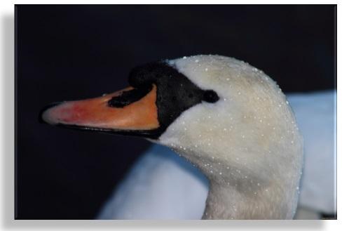 Год Лебедя